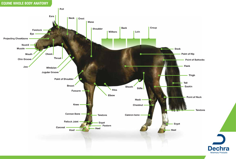 Downloads  U2013 Anatomy Charts  U2013 Dechra Veterinary Products